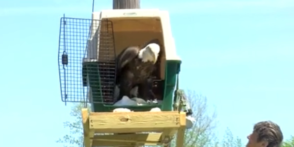 Bald eagle released after rehabilitation in Hancock Co.