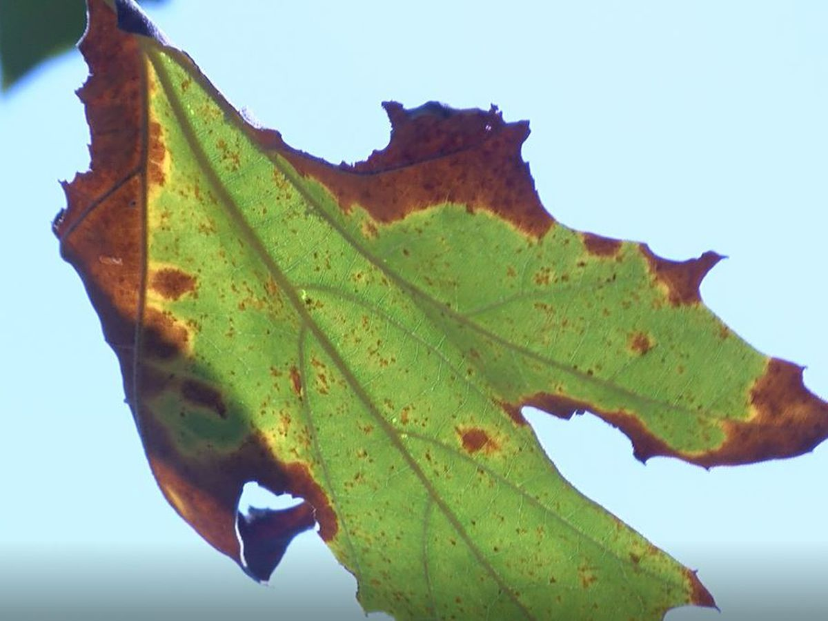 Volunteer: Drought creating emergency situation for Louisville trees