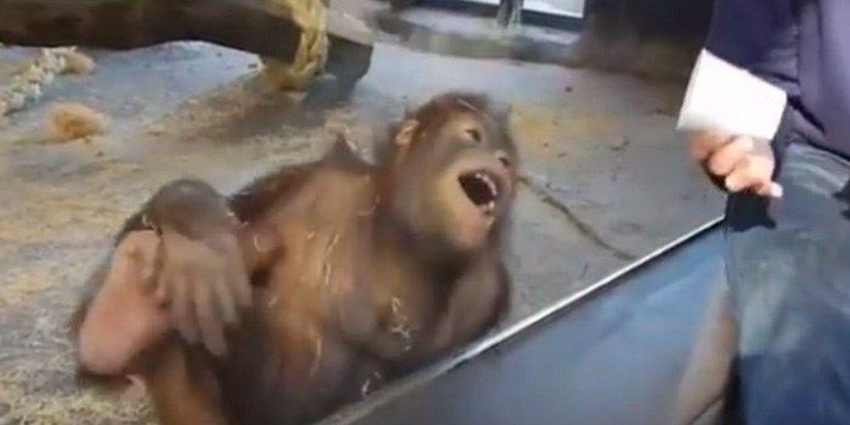 VIDEO: Magician hides chestnut, orangutan LOLs