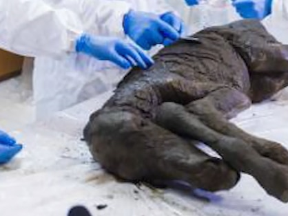 Liquid blood, urine found inside 42,000-year-old foal scientist hope to clone