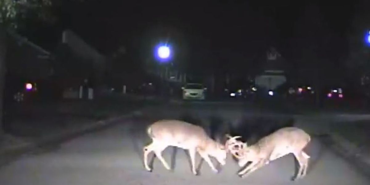 VIDEO: Deer street fight caught on police dash cam