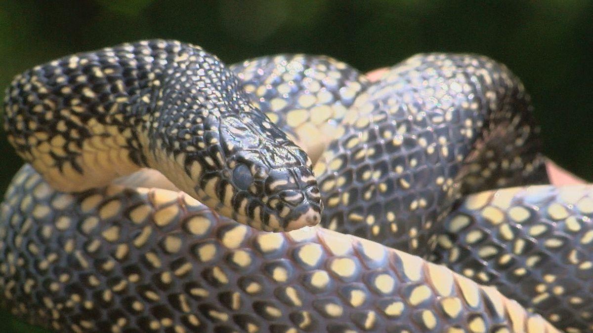 Rain leading to more snake sightings