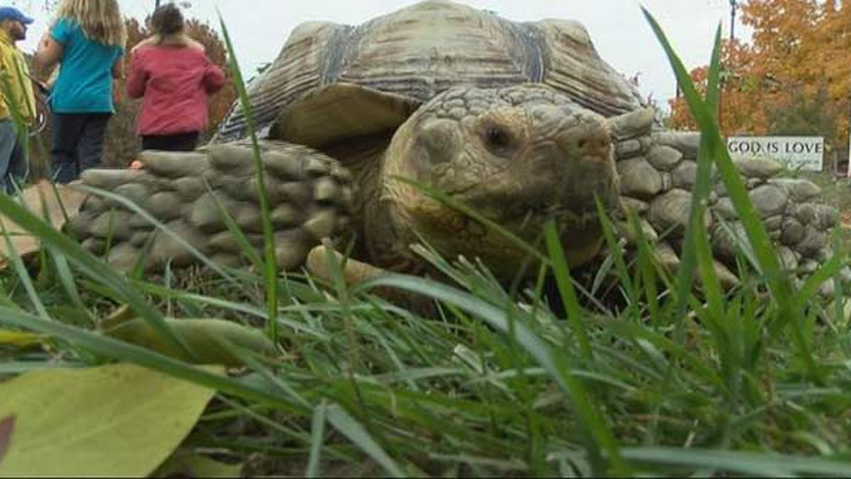 Louisville's famous tortoise Spike gets away with jaywalking