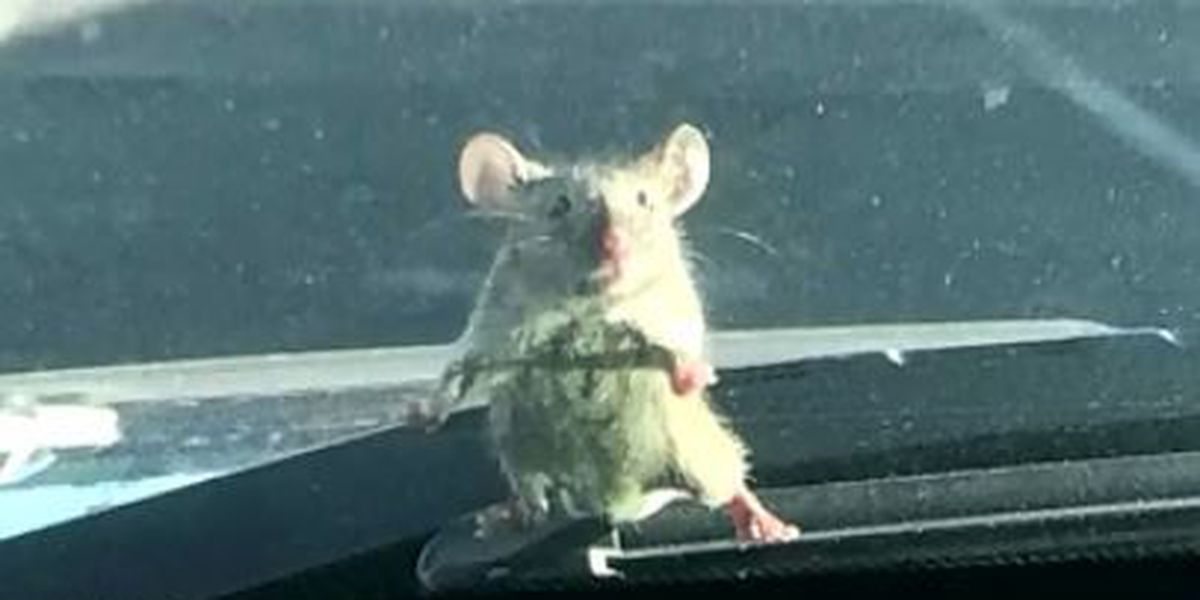 Mouse hitches a ride on police cruiser windshield