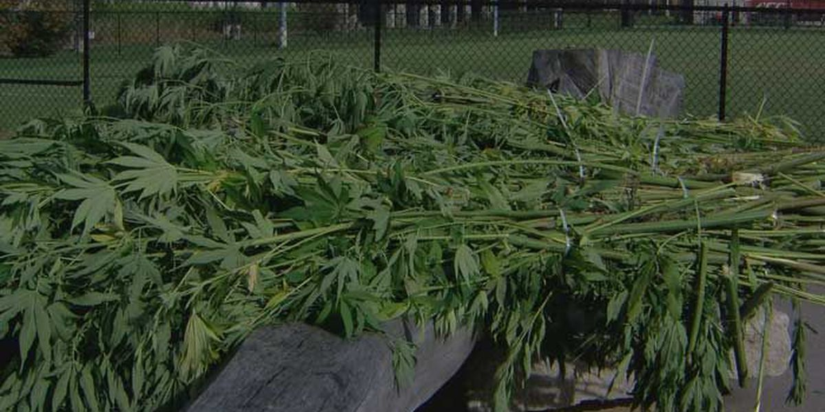 UofL students harvest research hemp crop