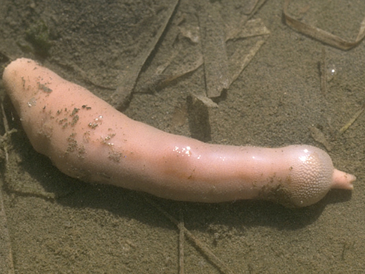 Report: 'Penis fish' take over California beach