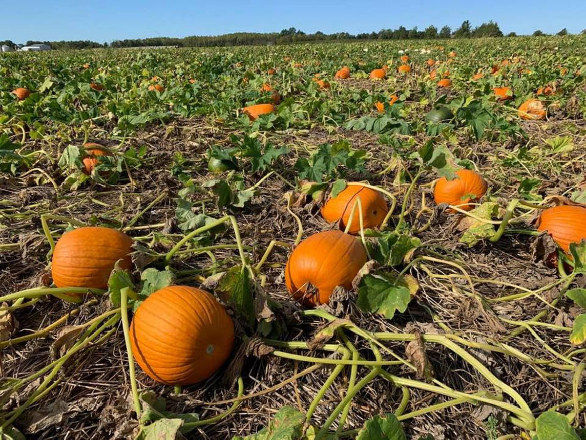 Behind the Forecast: How weather affects pumpkin crops