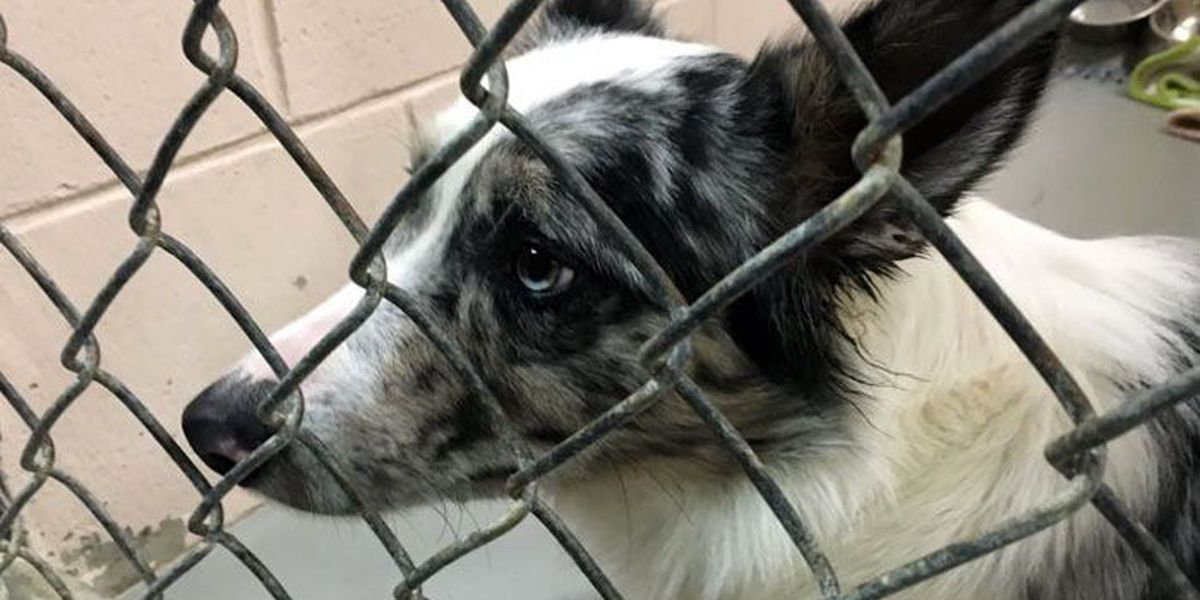 Rescuers: KY woman ran 'makeshift puppy mill' in her backyard