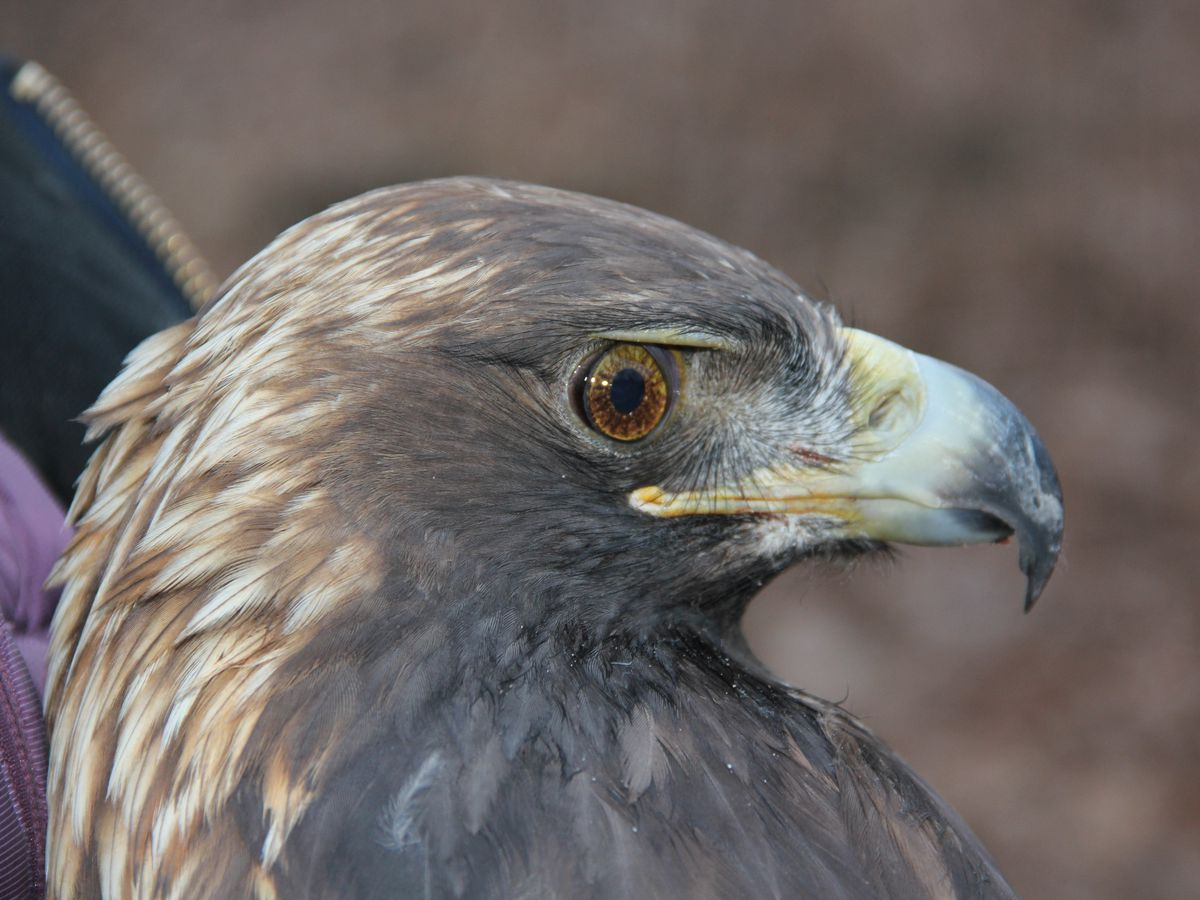The public has spoken: The female golden eagle at Bernheim Forest finally has a name