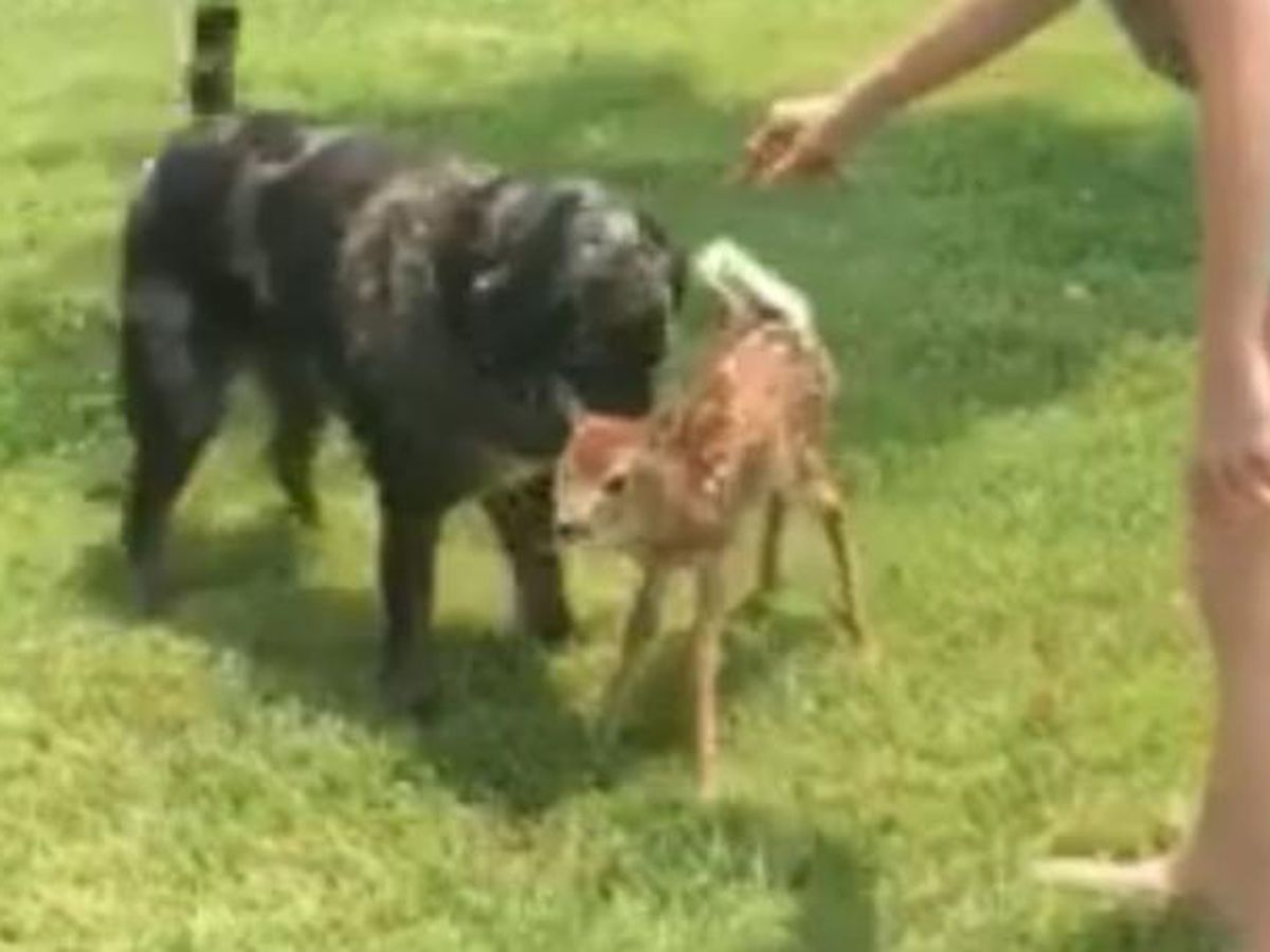 VIDEO: Dog, baby deer become fast friends in Kentucky