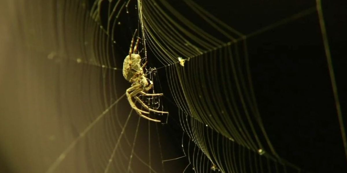 Hurricanes make spiders angry