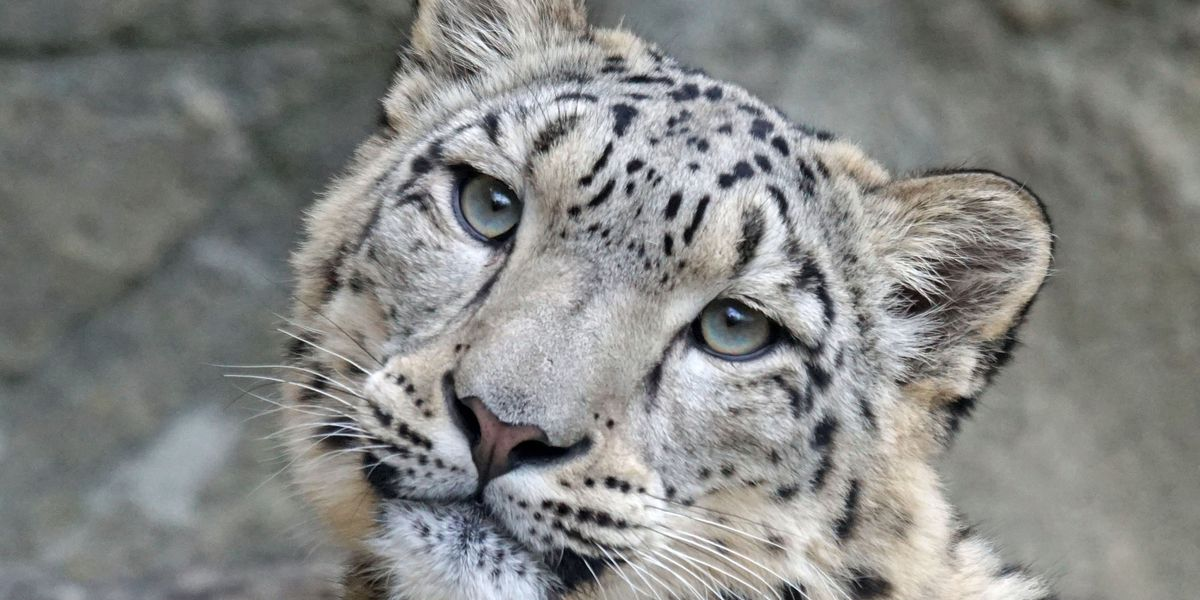 New snow leopard on the way to Louisville Zoo