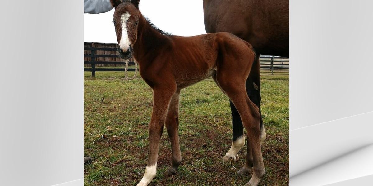 Triple Crown winner Justify's first official foal born in Lexington