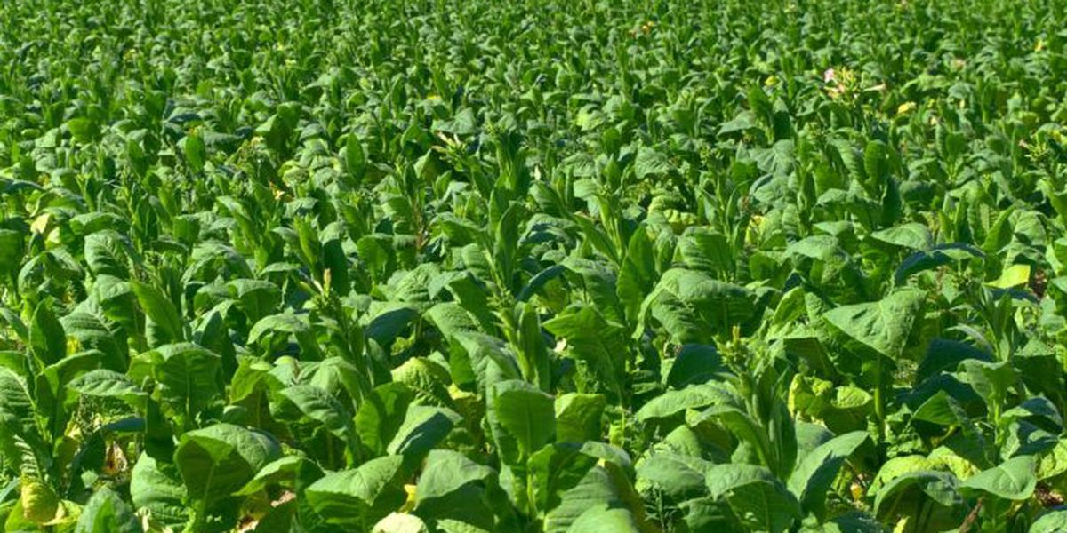 UofL looking into tobacco plant playing a role in fighting COVID-19