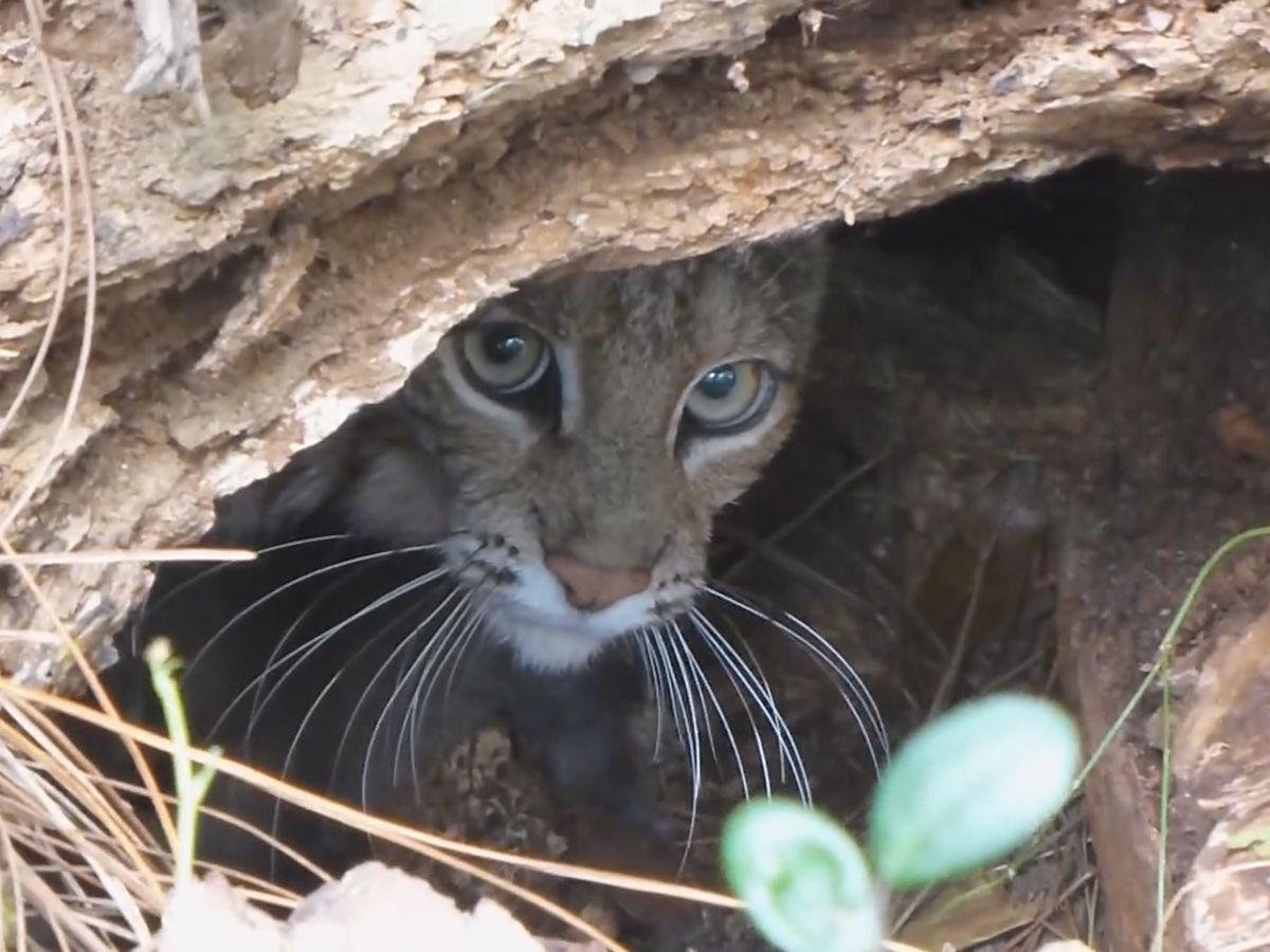 Monitoring of bobcat hunting permits under scrutiny in Kentucky