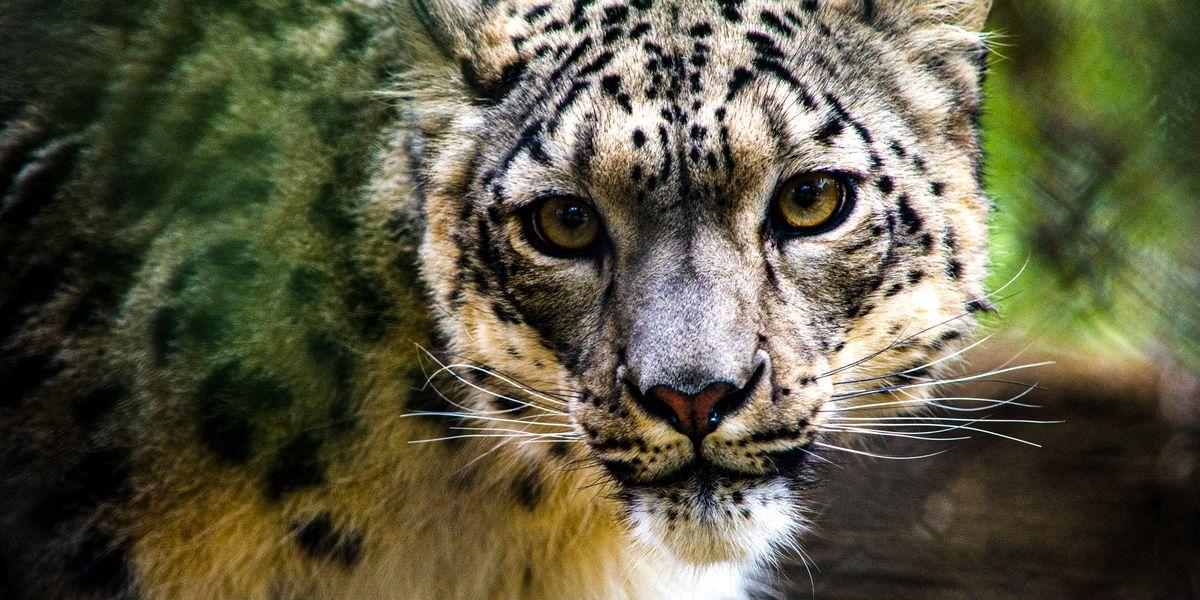 Snow leopards test positive for virus