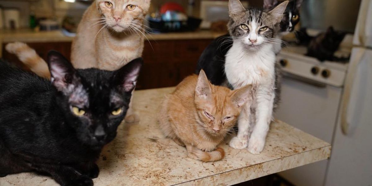Cats rescued from Tennesse cat sanctuary recovering in Louisville