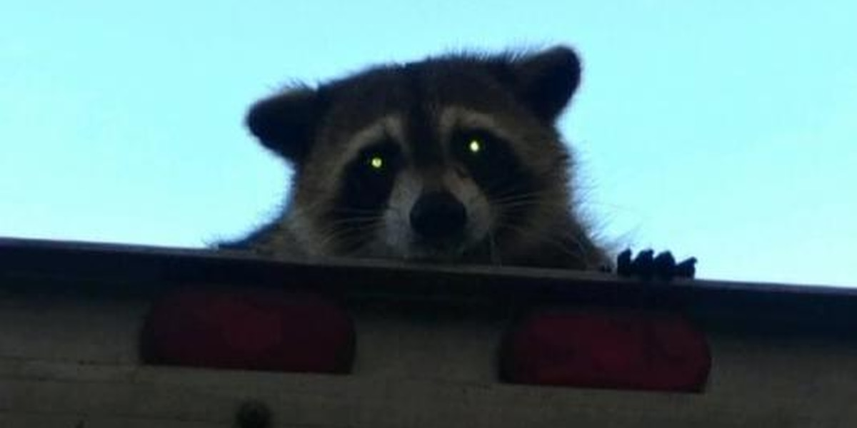 Raccoon holds onto bread truck for 16 miles in Florida