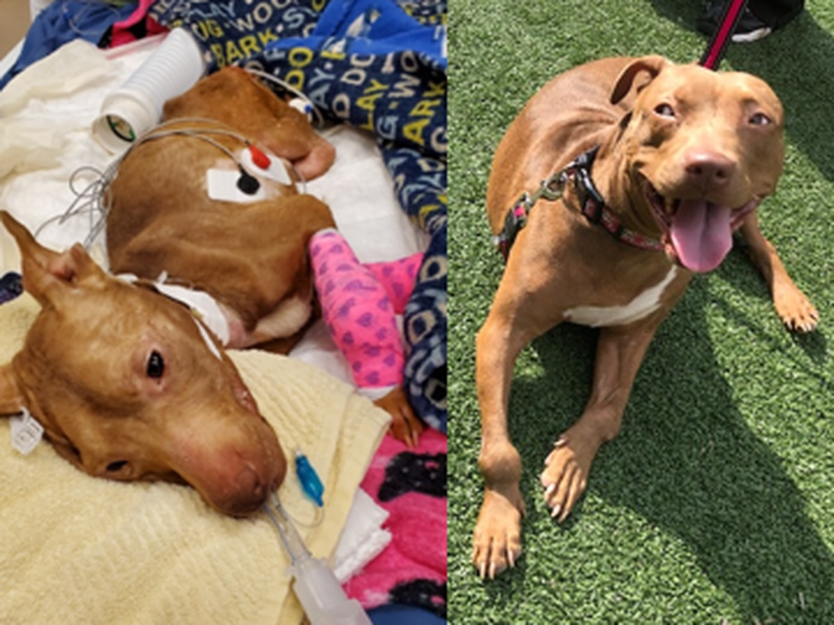 'She's so strong:' Abused, neglected dog thriving after months-long recovery