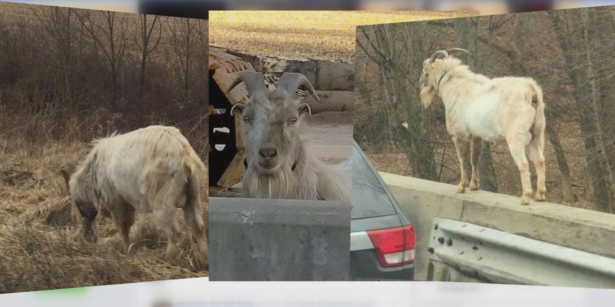 Houdini, the I-65 Goat is now a dad