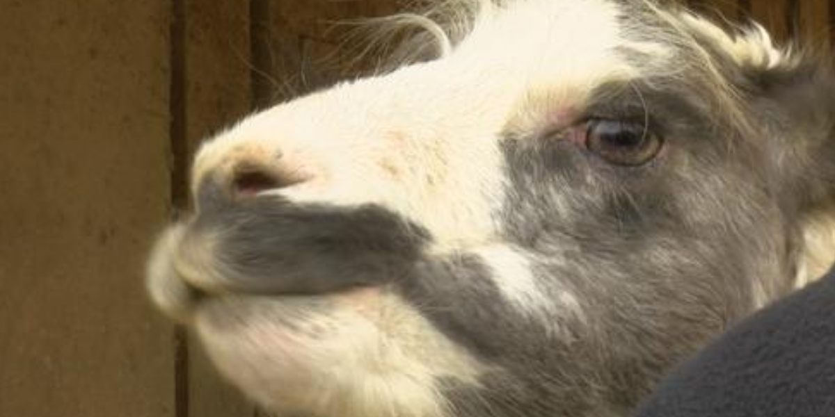 Six llamas killed in Louisville farm