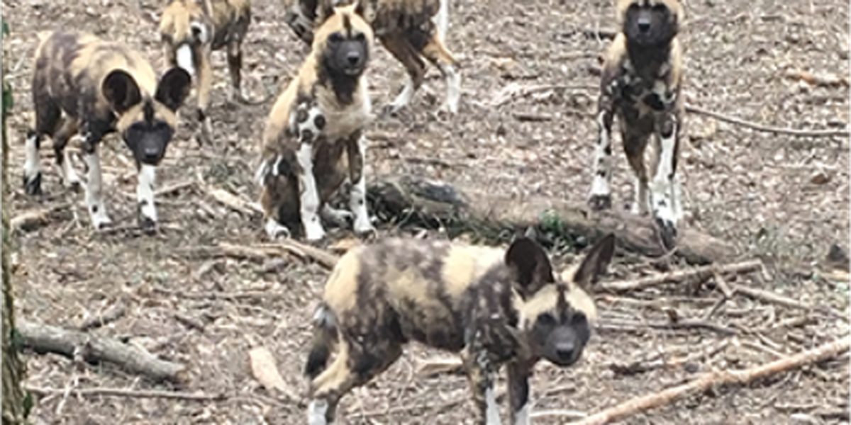Cincinnati Zoo adopts family of 10 painted dog pups and their mother