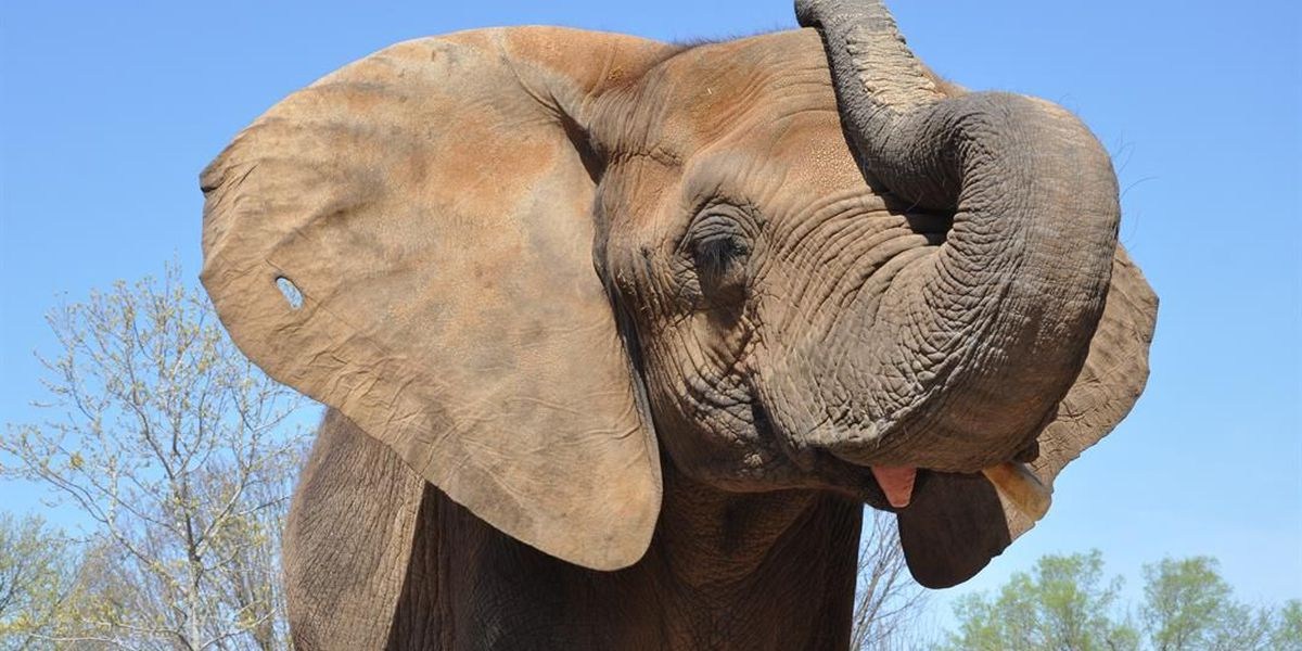 Louisville Zoo: Mikki the elephant is pregnant