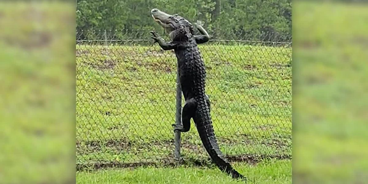 Alligator climbs fence near Jacksonville, Fla.