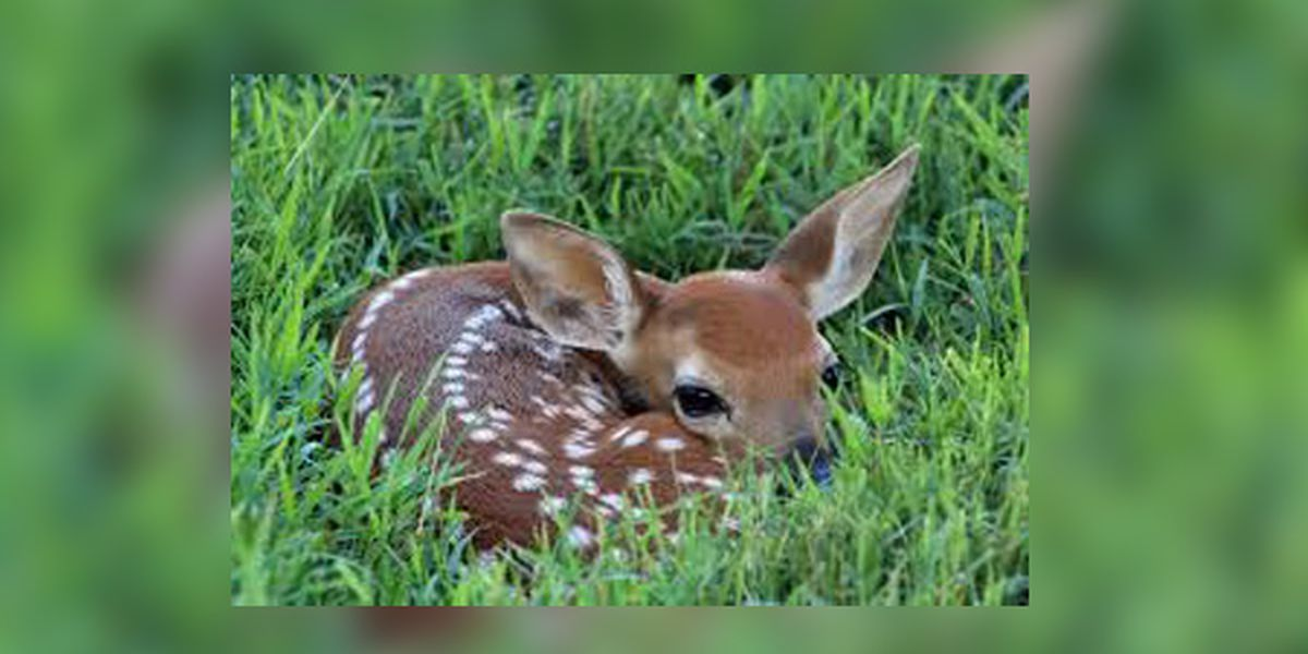 See a motherless fawn in your yard? Don't call animal control