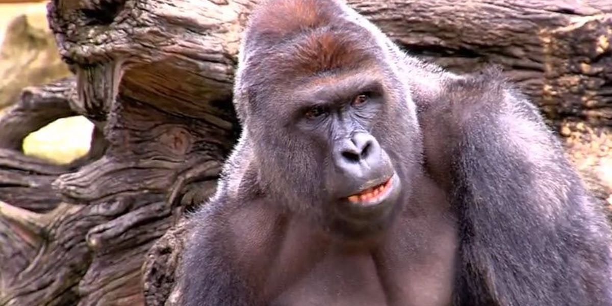 Tuesday marks 3 years since Harambe's shooting death at the Cincinnati Zoo