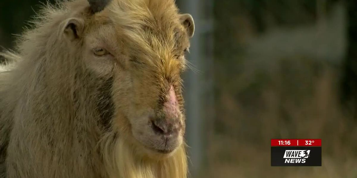 Houdini the legendary goat recovers at new home at animal sanctuary