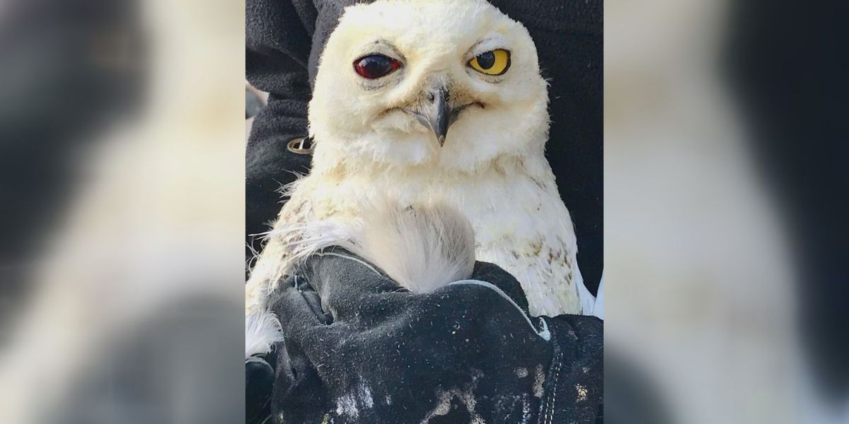 Snowy owl rescued from side of Louisville interstate
