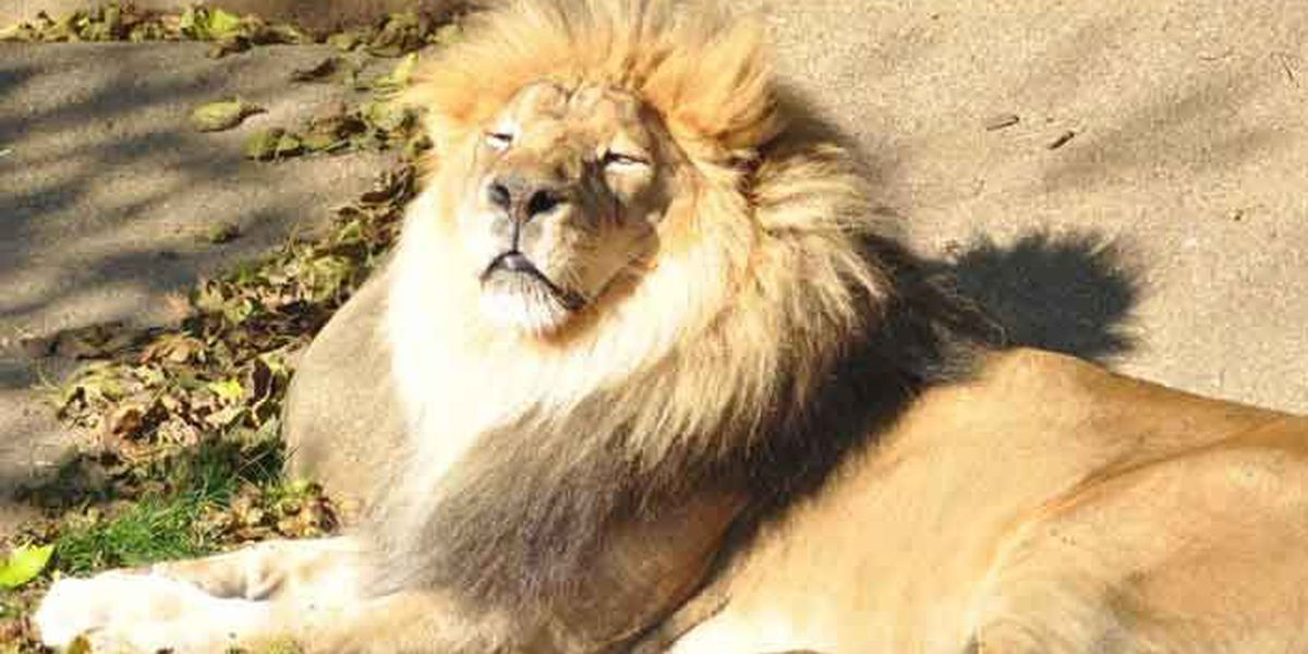 Lion at Louisville Zoo euthanized after 'declining quality of life'