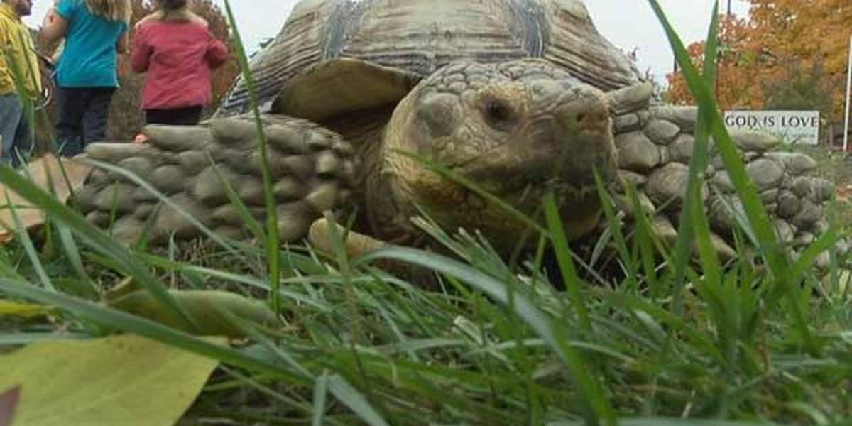 Tortoise hit by vehicle in downtown Louisville