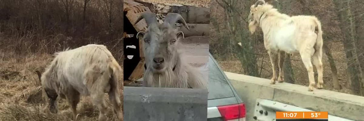 Widespread concern for Houdini the I-65 goat after traffic incident