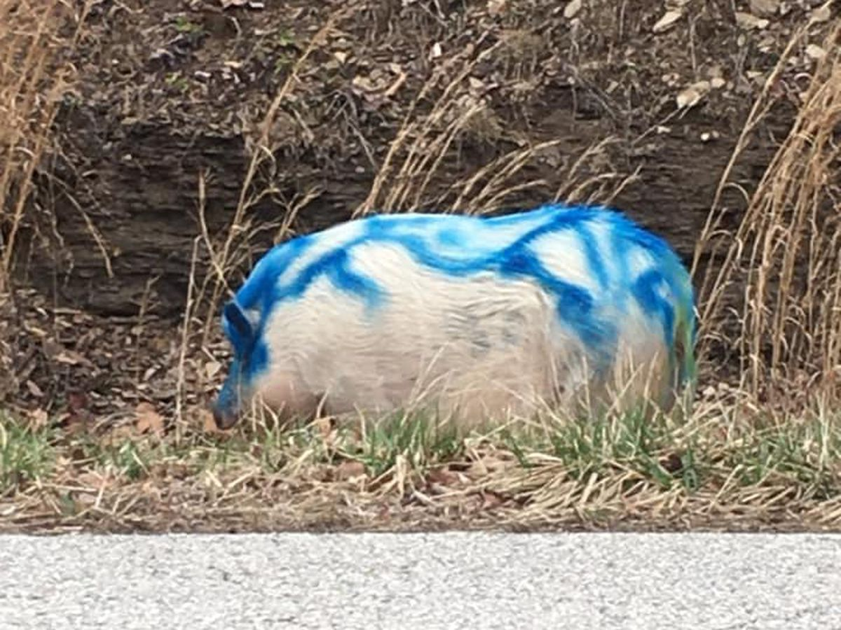 RESCUED | Pot belly pig tortured, spray painted blue in Grayson, KY