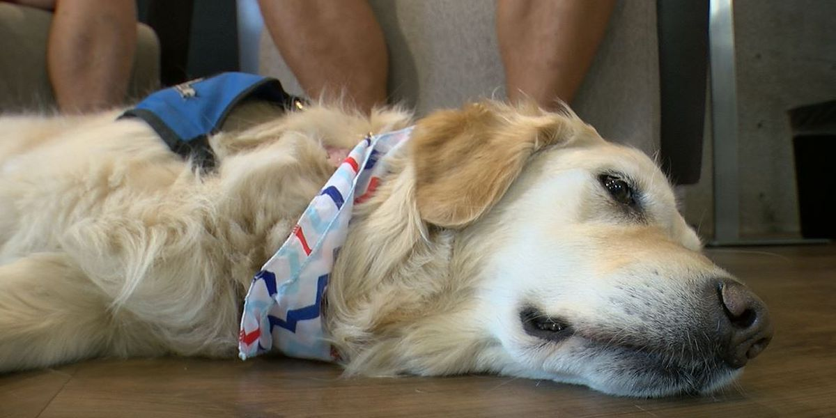 Mercy the comfort dog returns from lifting spirits in Dayton