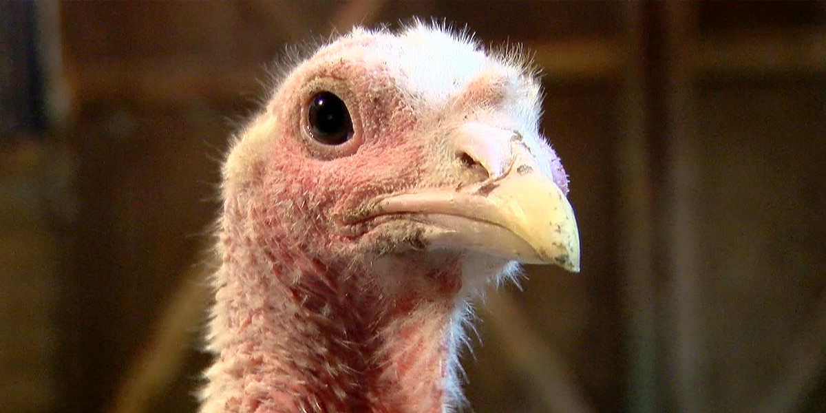 Local sanctuary saves 2 turkeys from becoming a Thanksgiving meal