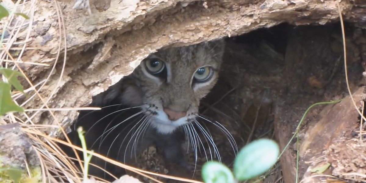 Monitoring of bobcat hunting permits under scrutiny in Kentucky