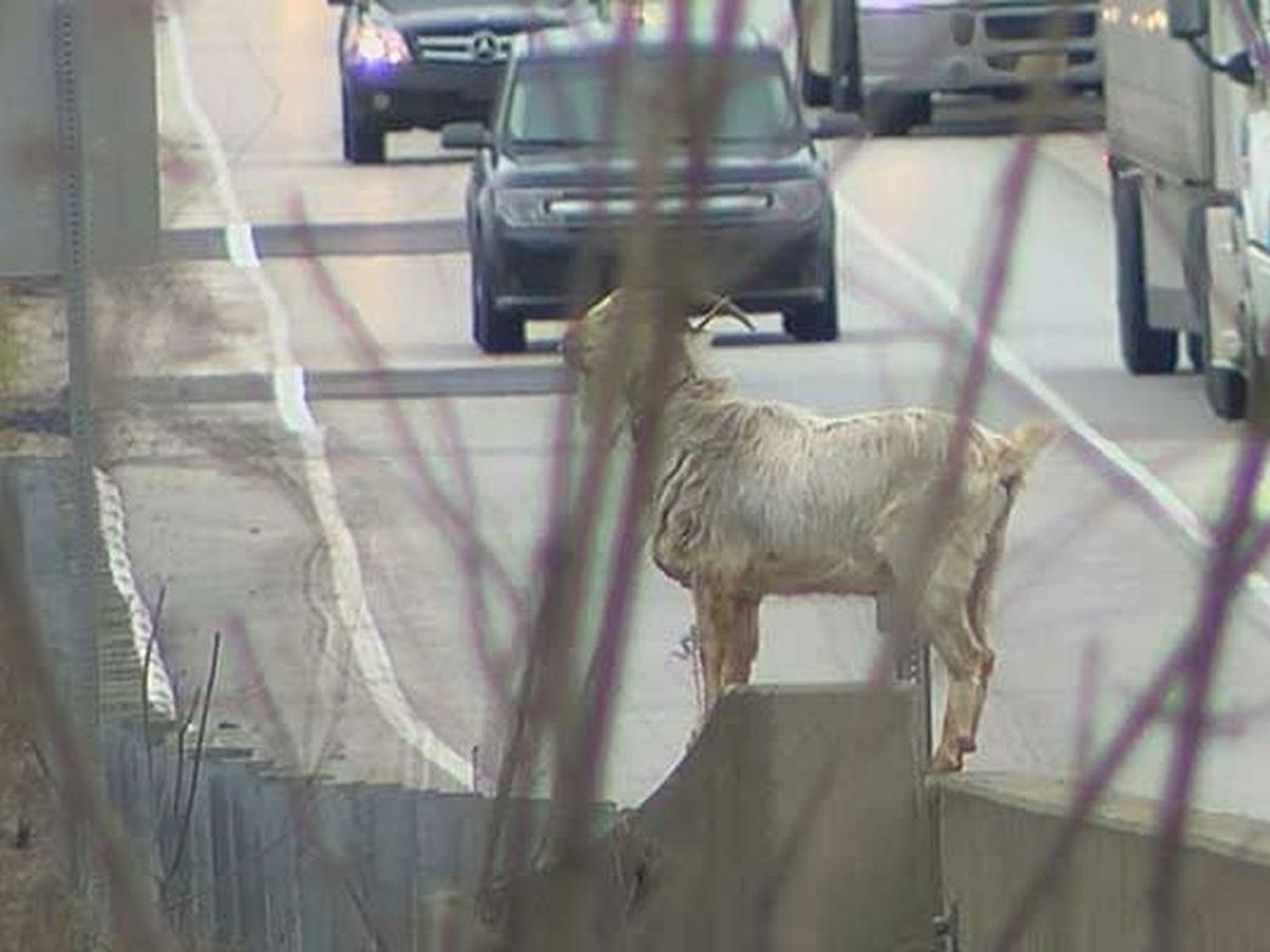 Houdini, the I-65 Goat, injured in traffic mishap