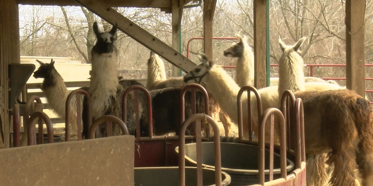Residents wonder if dogs are responsible for llama attack