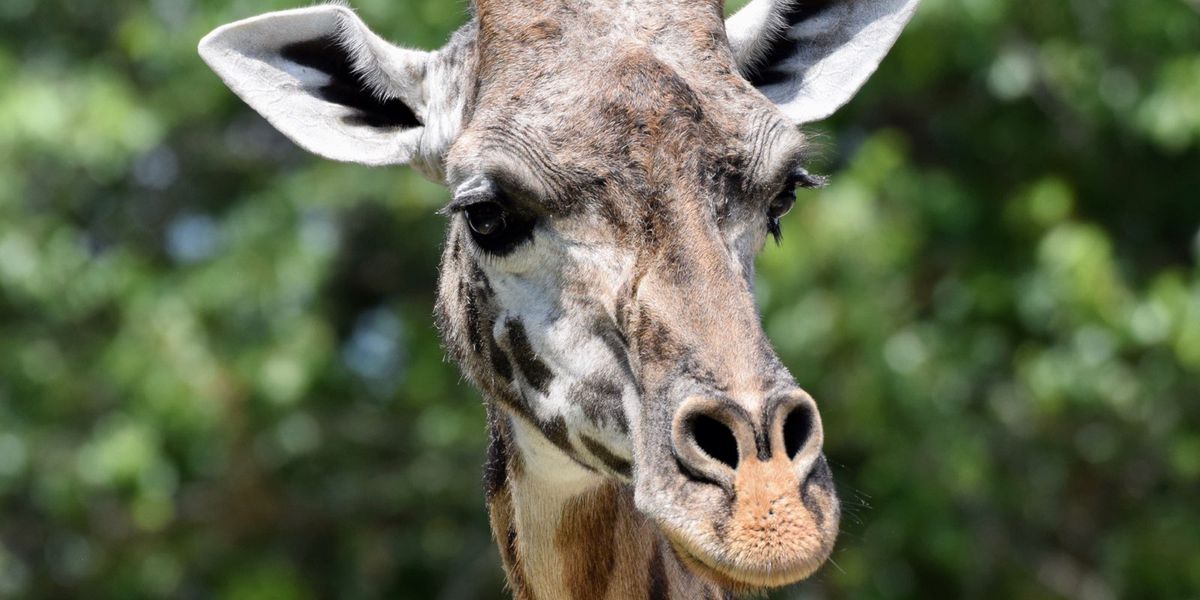 Louisville Zoo saddened by the loss of 23-year-old giraffe Malaika