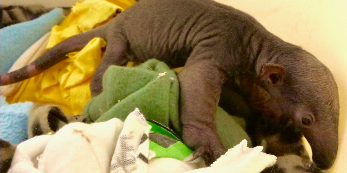 Cincinnati Zoo welcomes newest member of the family: A baby tamandua