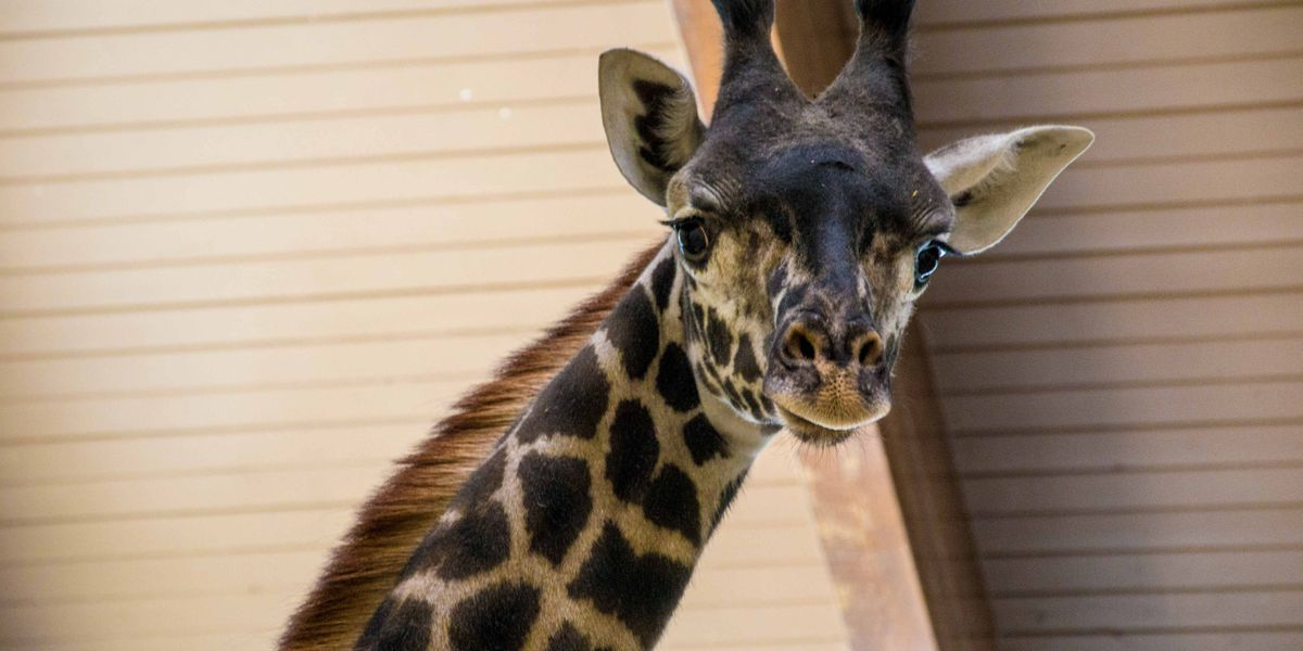 Baby giraffe now on exhibit at Louisville Zoo