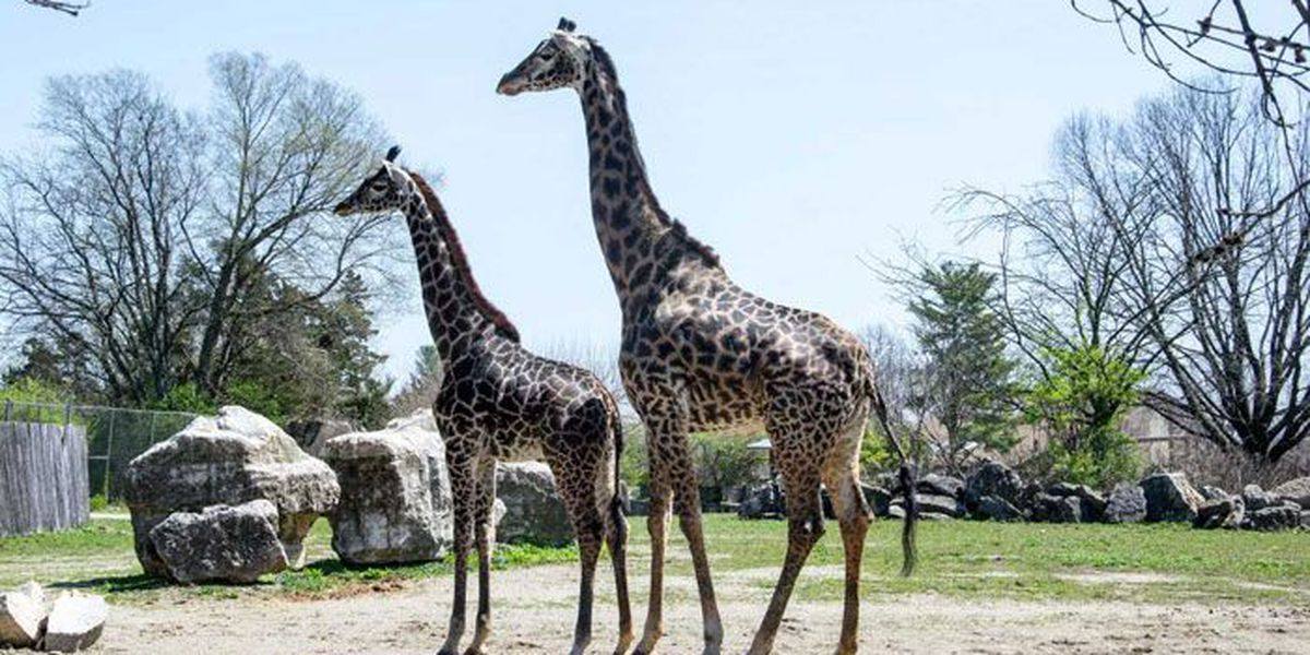 Louisville Zoo to celebrate Father's Day, World Giraffe Day