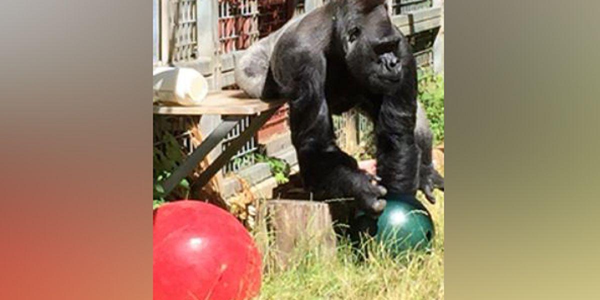 Gorilla returns home to Cincinnati Zoo