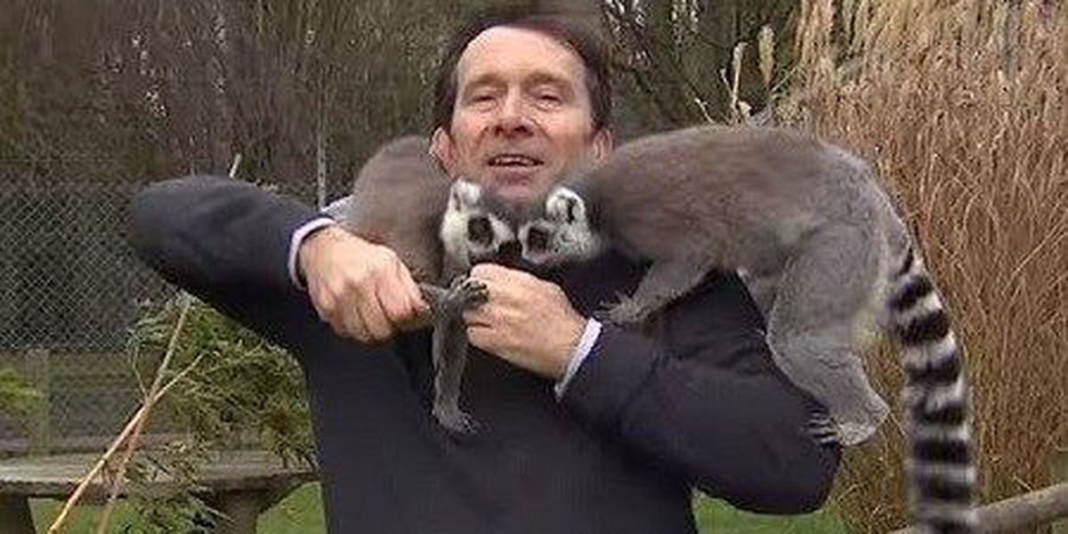 Reporter has to deal with lots of lemurs during report