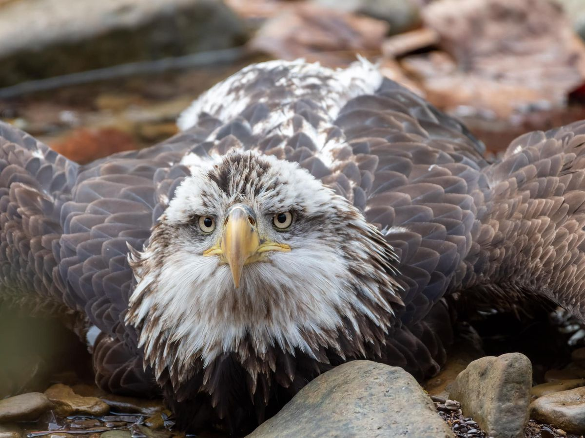 Bald eagle rescued in Bernheim Forest dies