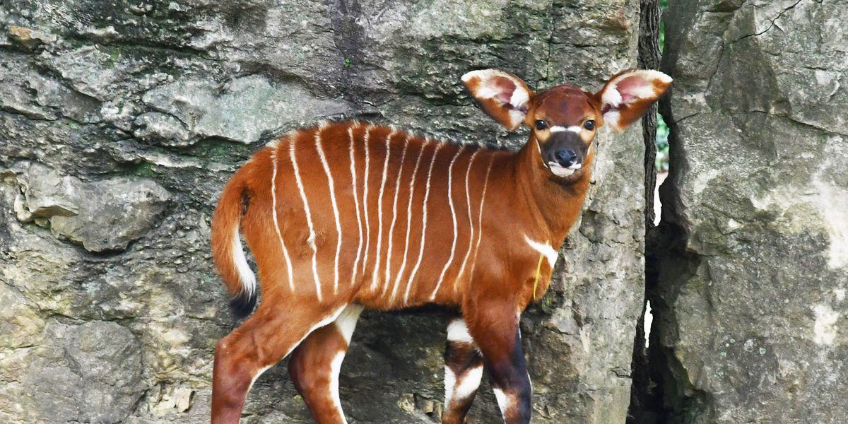 Louisville Zoo hosts naming contest for bongo calf