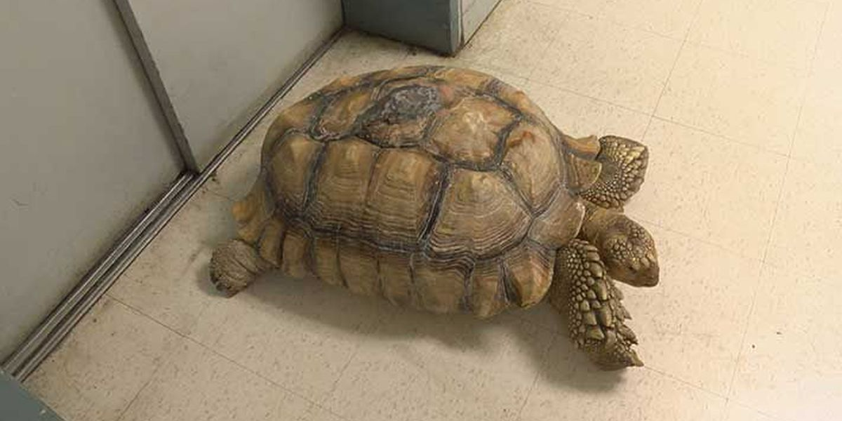 Spike the beloved tortoise doing better this holiday season